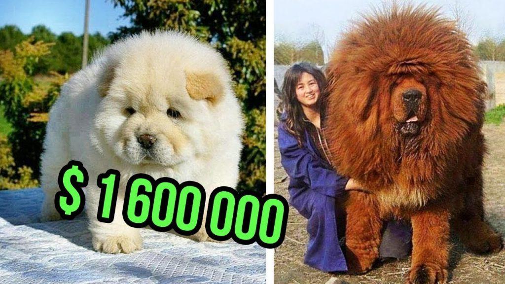 พันธุ์หมาที่แพงที่สุด